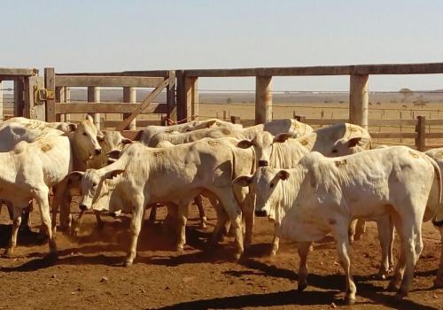 Progênie em vacas comerciais