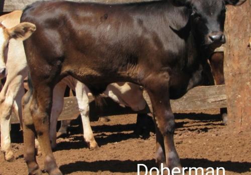 Progênie Doberman com 50 dias - Campo Grande MS (9).jpg