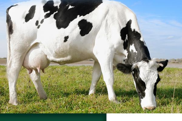 A vaca ideal para a sua propriedade