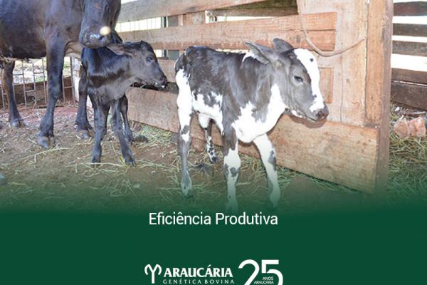 Eficiência produtiva: como medir em rebanhos leiteiros