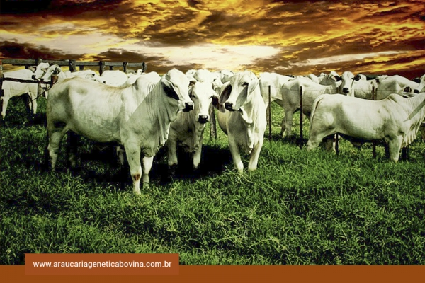 Mercado do boi gordo: oferta limitada e nova alíquota do Funrural