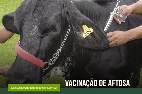 Aftosa: vacinação começa na maioria dos estados