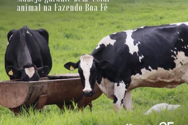 Vacas felizes: Manejo garante bem-estar animal na Fazendo Boa Fé