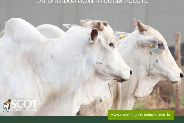 Volume de bovinos vivos exportados aumentou em agosto