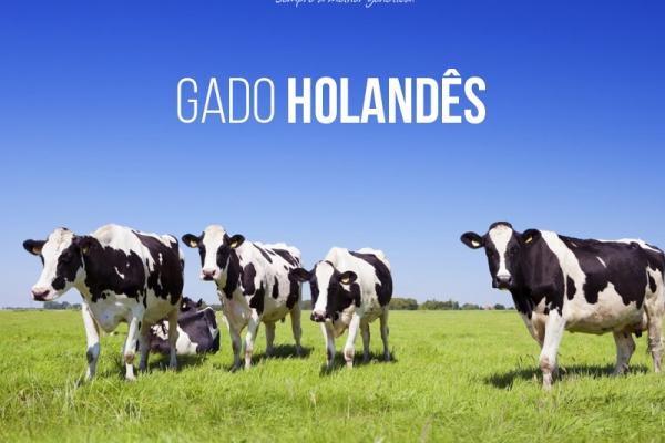 Gado Holandês