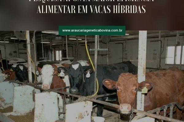 Pesquisa aponta maior eficiência alimentar em vacas híbridas
